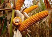 Гибрид кукурузы ЕС ПАЛАЦЦО (ES PALAZZO)