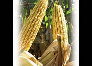 Гибрид кукурузы ЕС СЕНСОР, фото 2