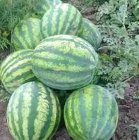 БОНД F1 / BOND F1 – арбуз, Cora Seeds 1 000 семян