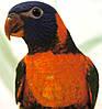 Райдужний або багатобарвний папуга Лорикет (Trichoglossus haematodus) - выкормыш