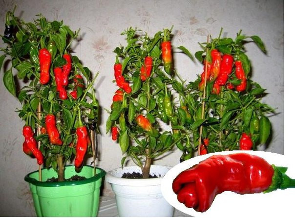 Семена Секси перчики Chilly Willy Penis Peppers