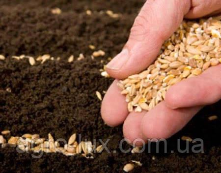 Семена голландского и украинского огурца