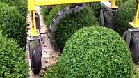 Пошлите это Кличко: сеть взорвало красивое видео о машинной стрижке деревьев