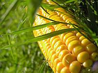 Семена кукурузы Пионер П8745 (P8745)