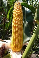Семена кукурузы  Mas 24.С  Force Zea
