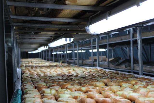 """выращивание лука в теплице """"Фермер"""""""