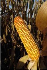Семена кукурузы  Mas 25.F Force Zea
