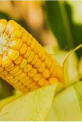 Агростарт семена кукурузы Mas 30.М   Force Zea
