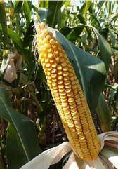 Cемена кукурузы Mas 48.L