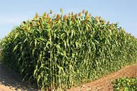Семена сорго марки Syngenta SS 506