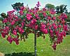 Роза штамбовая Эксцельза (Excelsa)