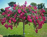 Роза штамбовая Эксцельза (Excelsa), фото 1
