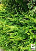 Барбарис Тунберга Green Carpet  (контейнер 1л, высота 12-15 см)