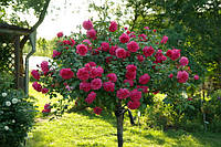 Роза штамбовая Розариум (Rosarium)