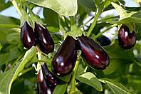 Семена баклажана Гелиос (Италия), 1 гр