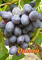 Саженцы виноград раннего срока созревания сорта Орион
