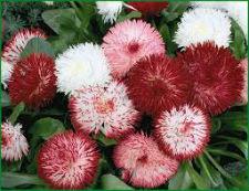 Семена Маргаритки Помпонная  смесь 0,05 г