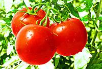 Семена Помидор сорт Яблонька России, пакет 10х15 см