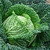 БЛИСТРА F1 - семена капусты савойской, 2 500 семян, Moravoseed