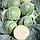ГЛОУБ МАЙСТЕР F1 (Компасс F1) - насіння капусти білоголової, 10 грам, Takii Seeds, фото 2