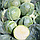 ГЛОУБ МАСТЕР F1 (Компасс F1) - семена капусты белокочанной, 10 грамм, Takii Seeds, фото 2