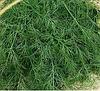 МОНАРХ - семена укропа, 100 грамм, Moravoseed