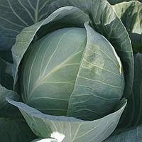 СТРУКТА F1 - семена капусты белокочанной, 25 00 семян, Takii Seeds