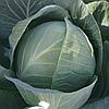 ОРТУС F1 - семена капусты белокочанной, 2 500 семян, Takii Seeds