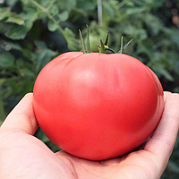 ТЕХ 2720 F1 - семена томата, Takii Seeds