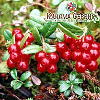 Саженцы брусники Red Candy(Рэд Кенди) в горшке 0.5 л (5-10 см)