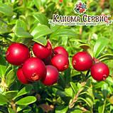 Саженцы брусники Red Pearl (Ред Перл) в горшке 0.5 л (5-10 см), фото 2