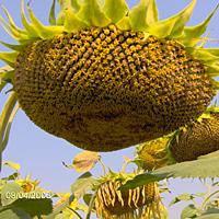 Семена подсолнечника Мир (100-110 дн.)