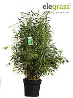 Бамбук Фаргезия Мюриэла -- Fargesia murielae  P29/H80  3
