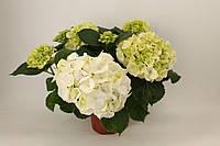 Гортензия крупнолистная Schneeball -- Hydrangea macrophylla Schneeball  P13/H30  2