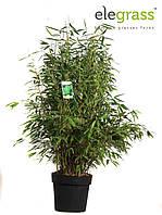 Бамбук Фаргезия Мюриэла -- Fargesia murielae  P29/H80  2