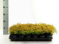 Туя западная Golden Tuffet -- Thuja occidentalis Golden Tuffet  P9/H15