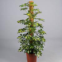 Шеффлера древовидная Gold Capella -- Schefflera arboricola Gold Capella  P24/H110