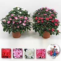Рододендрон Симса микс -- Rhododendron simsii mixed  P14/H32