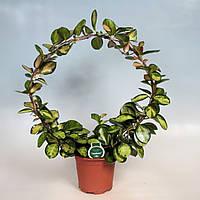 Хойя мясистая Триколор -- Hoya carnosa Tricolor  P17/H999