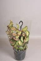 Хойя мясистая Триколор -- Hoya carnosa Tricolor  P15/H30