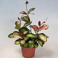 Хойя мясистая Триколор -- Hoya carnosa Tricolor  P12/H999