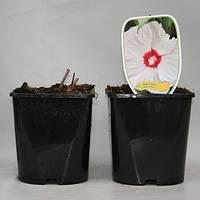 Гибискус -- Hibiscus  P25/H20