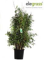 Бамбук Фаргезия Rufa -- Fargesia Rufa  P35/H100