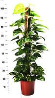 Эпипремнум перистый Mosspole -- Epipremnum pinnatum Mosspole   P21/H90