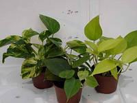 Эпипремнум перистый микс -- Epipremnum pinnatum mixed  P10/H999