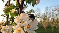 Черенки яблони (привой)