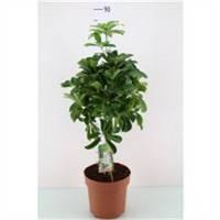 Шеффлера древовидная Нора -- Schefflera arboricola Nora  P13/H45  1