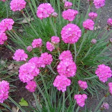 Армерия приморская розовая, фото 2