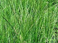 Семена райграса на сидераты