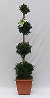 Самшит вечнозеленый -- Buxus sempervirens  P26/H80  3